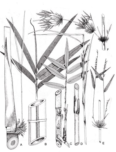bamboo breedlove.jpg